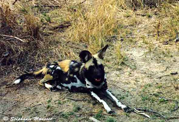 Wild dog photo south african wildlife