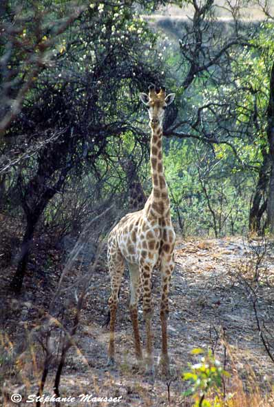 Lonely giraffe photo south africa wildlife