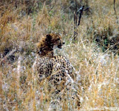 Cheetah photo south africa wildlife