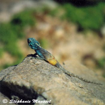 Colorful lezard photo