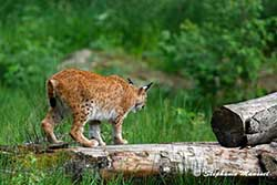 Lynx on the lookout