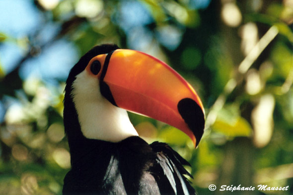 photo de toucan gros plan sur bec orange