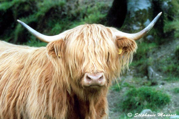 Vache des highlands d 39 ecosse - Photo de vache drole ...