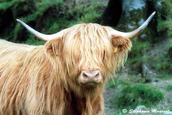 vache des Highlands