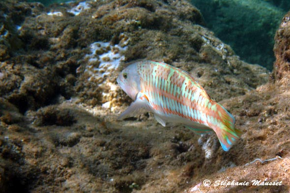 photo sous marine de poisson girelle paon