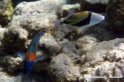 Poissons Hawaii