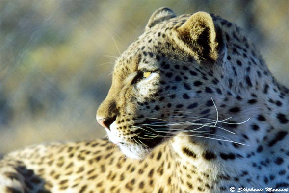 [Leopard close shot namibia wildlife]